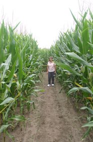 Inside the Corn Maze