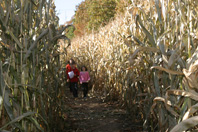 Deep in the Corn Maze